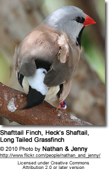 Long Tailed Grassfinch