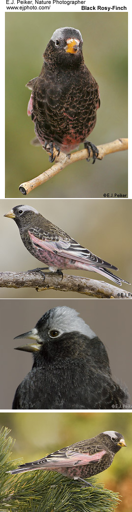 Black Rosy Finches