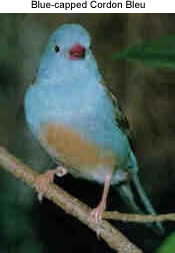 Blue-capped Cordon Bleu