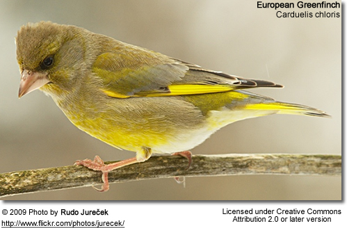 European Greenfinches