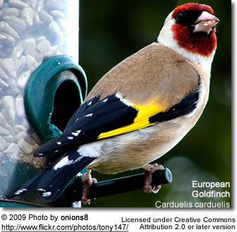 European Goldfinch by bird feeder