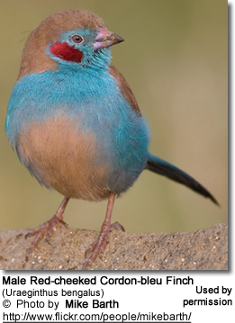 Red-cheeked Cordon Bleu