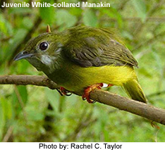 White-colored Manakin