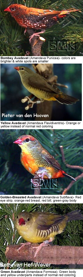 Strawberry Finches Mutations / Sub-species