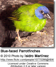 Blue-faced Parrotfinch Erythrura trichroa