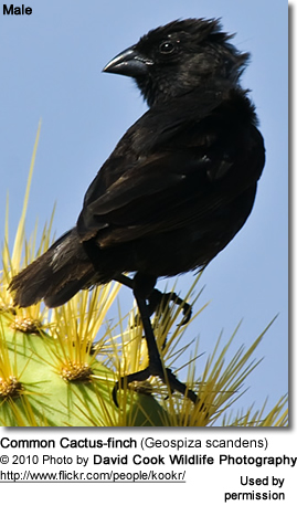 Common Cactus-finch (Geospiza scandens) - Male