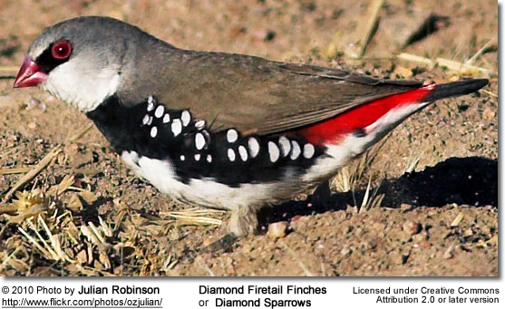Diamond Firetail Finches or Diamond Sparrows
