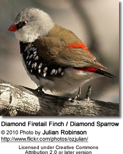 Diamond Firetail Finch / Diamond Sparrow