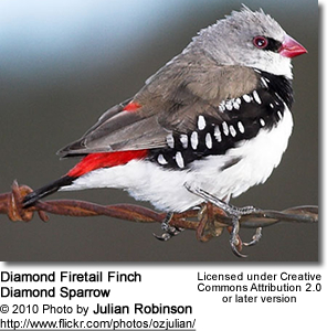 Diamond Firetail Finch or Diamond Sparrow