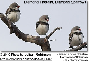 Diamond Firetail, Diamond Sparrow