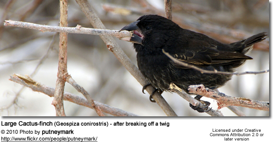 Large Cactus-finch (Geospiza conirostris) - after breaking off a twig