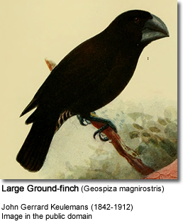 Large Ground-finch (Geospiza magnirostris)