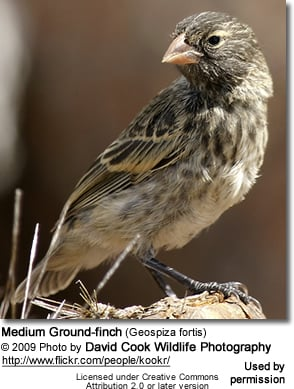 Medium Ground-finch (Geospiza fortis)