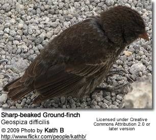 Sharp-beaked Ground-finch (Geospiza difficilis)
