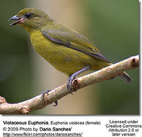 Violaceous Euphonia - Female