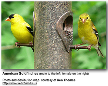 American Goldfinches and  Distribution Map