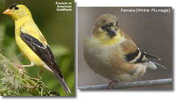 Eastern Gold Finch