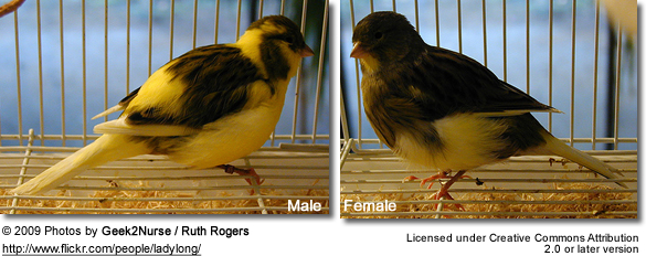 Border Canaries: Left Male, Right: Female