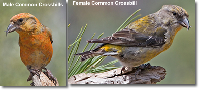 Common Crossbills