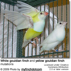 White and Yellow Gouldian Finch Mutations