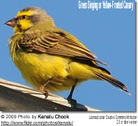 Green Singing or Yellow-fronted Finch