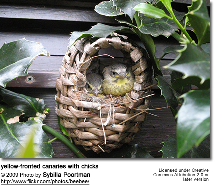 Green Singing Finches on nest