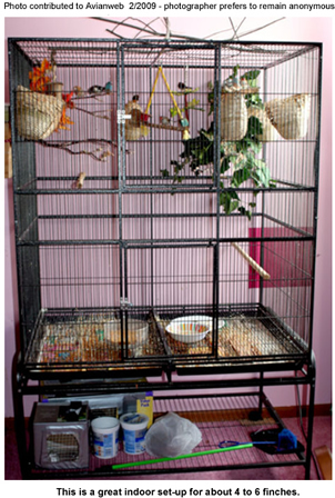 Housing Finches