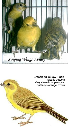 Saffron Finches, Yellow Finches, Pelzeln's Finches | Beauty of Birds