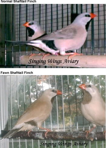Shafttail Finches