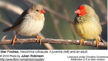 Star Finches, Neochmia ruficauda: A juvenile (left) and an adult