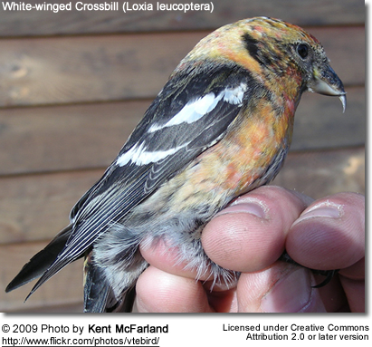 White-winged Crossbill - Note the crossing bill