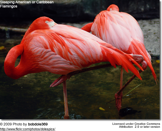 Sleeping American Flamingos