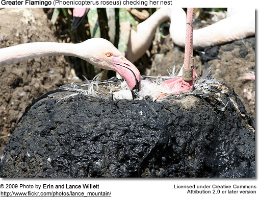 Greater Flamingo checking her nest