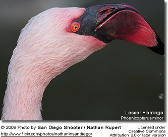 Lesser Flamingo Head Detail