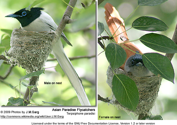 Asian Paradise Flycatchers - male and female on nest