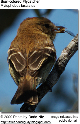 Bran-colored Flycatcher with insect