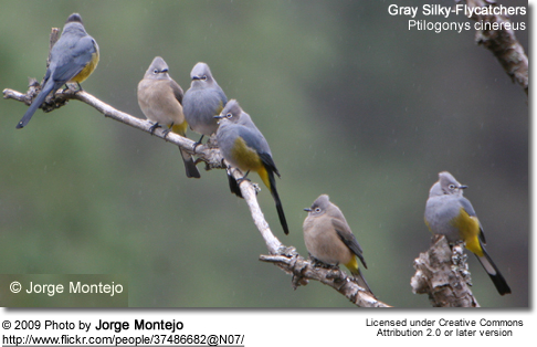 Grey Silky Flycatchers