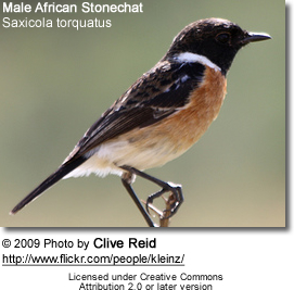 Male African Stonechat