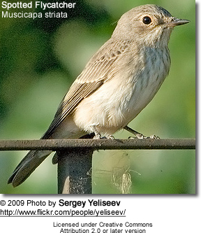 Spotted Flycatcher, Muscicapa striata