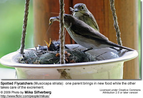 Spotted Flycatchers, Muscicapa striata - young one begging to be fed by parent