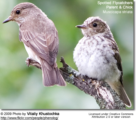 Spotted Flycatcher, Muscicapa striata - parent and young