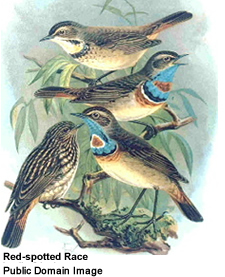 Bluethroats