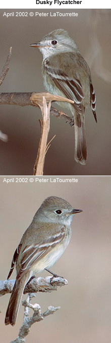 Dusky Flycatchers