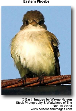 Eastern Flycatcher