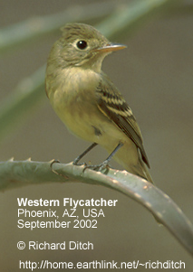 Western or Pacific-slope Flycatcher