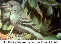 South-west Willow Flycatcher