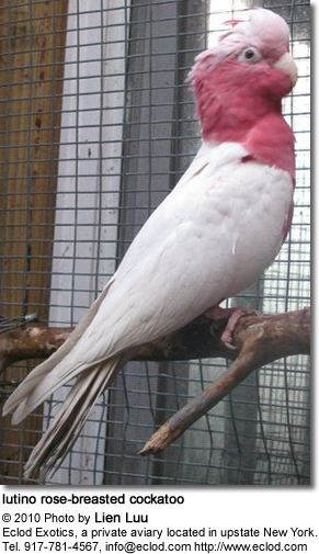 lutino rose-breasted cockatoo