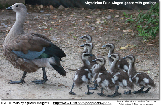 Abyssinian Blue-winged goose with goslings