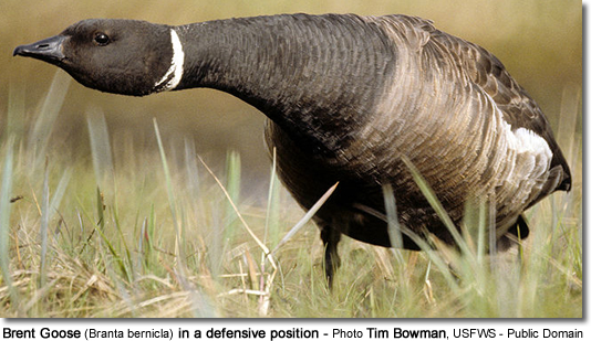 Brent Goose (Branta bernicla) in a defensive position - Photo Tim Bowman, USFWS - Public Domain