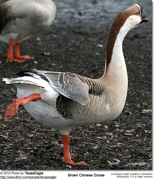 Brown Chinese Goose